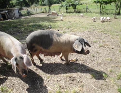 VIII Xornadas Gastronómicas e de Recuperación do Porco Celta